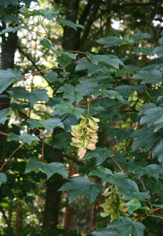 Blätter mit Frucht des Bergahorns, Foto: Franz Xaver