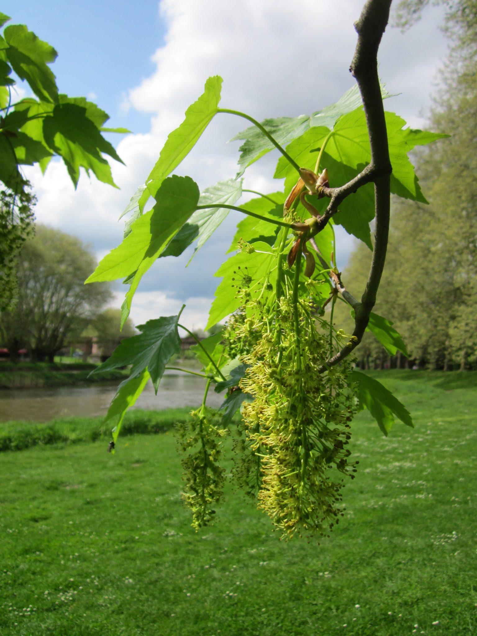 Blüte und Blätter des Bergahorns